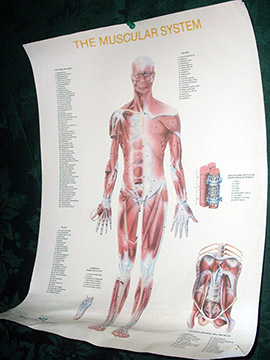 medical chart muscular system chart diagram paper poster